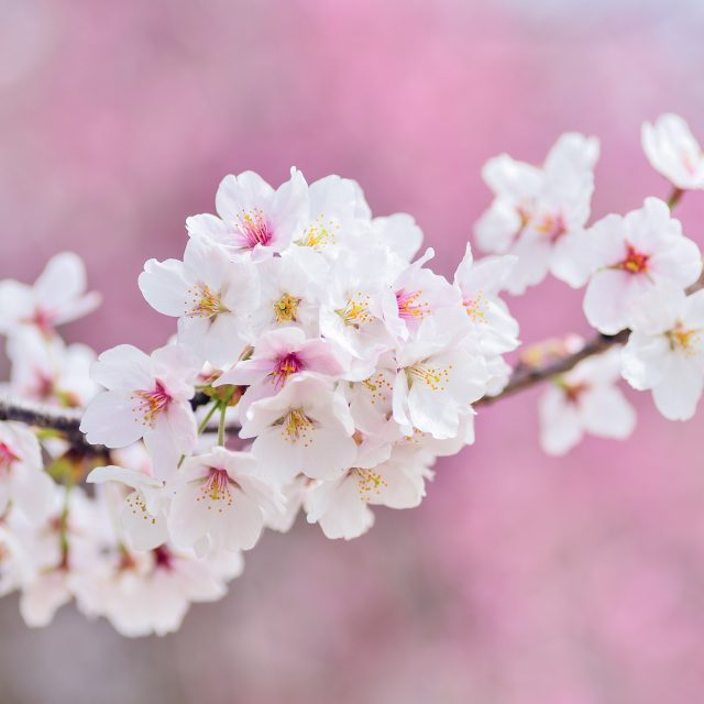 cherry blossoms, landscape, spring
